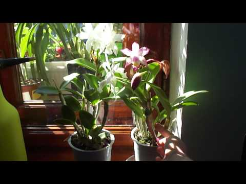 Немного про полив орхидеи Каттлея