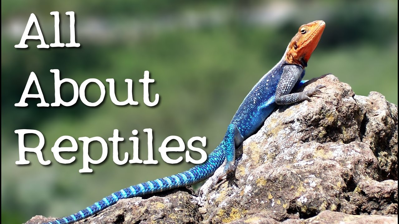 reptiles for ks1 and ks2 children | reptiles homework help | theschoolrun