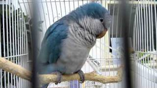 Quaker Parrot Blue Bird Sick #1 211010