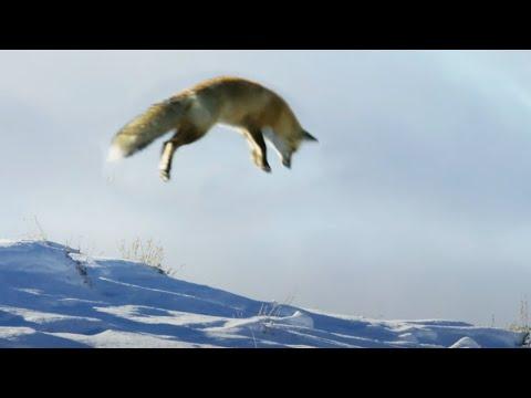 Fox Dives Head