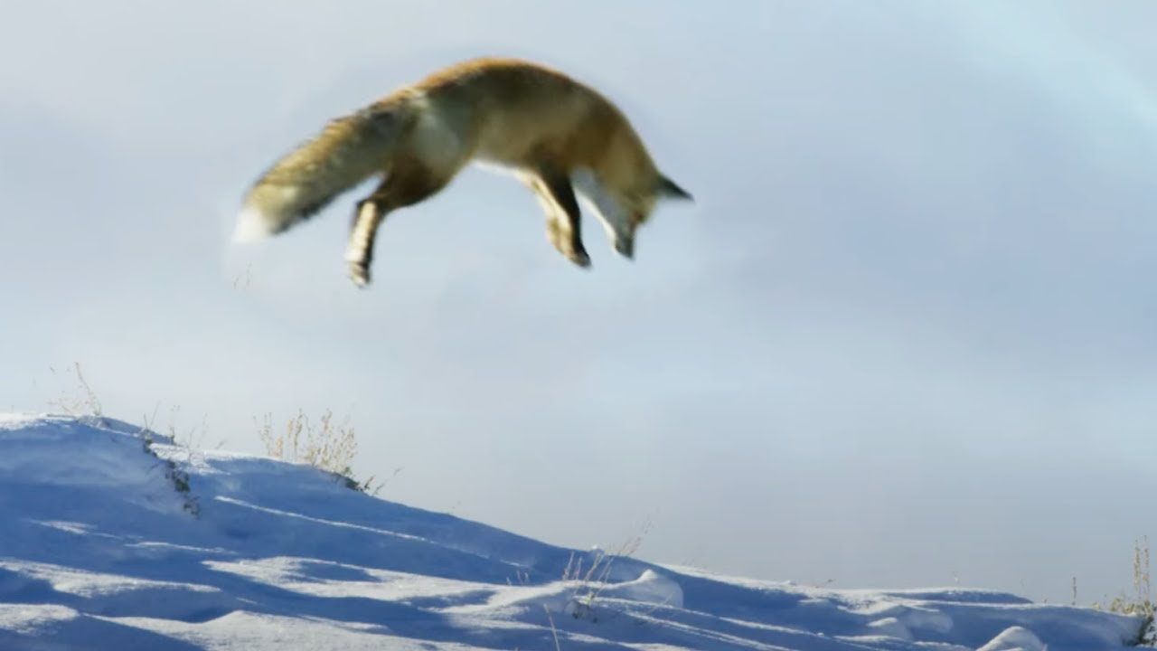 Fox Dives Head First in to Snow   Planet Earth II   BBC Earth