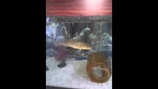 Murray Cod in fish tank eating