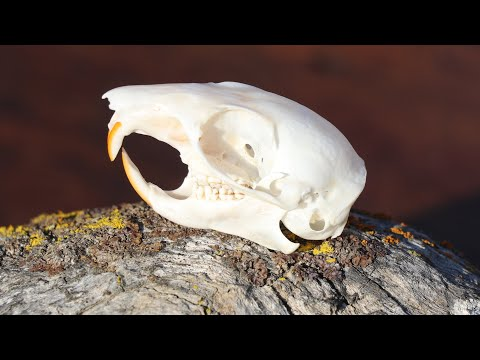 HOW TO CLEAN AN ALBINO GROUND SQUIRREL SKULL