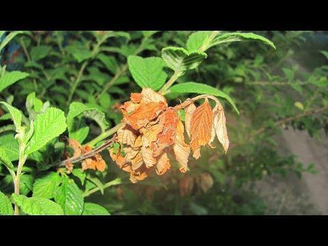 Почему сохнут ветки у вишни и сливы | монилиальный | косточковых | монилиоз | садовый | наталья | культур | болезни | сохнут | почему | листья