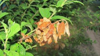 Почему сохнут ветки у вишни и сливы