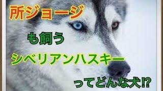 ペットで犬を飼おうと迷っている方へ〜シベリアンハスキー〜 世の中には...
