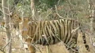 India Wildlife Tour - Tiger Safari