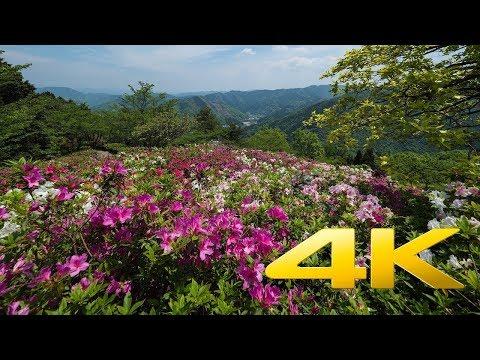 The Azalea of Ozu Tomisuyama Park - Ehime - 冨士山公園のつつじ - 4K Ultra HD