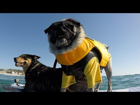 Best Friends: Brandy The Pug and Abbie Girl Surfing