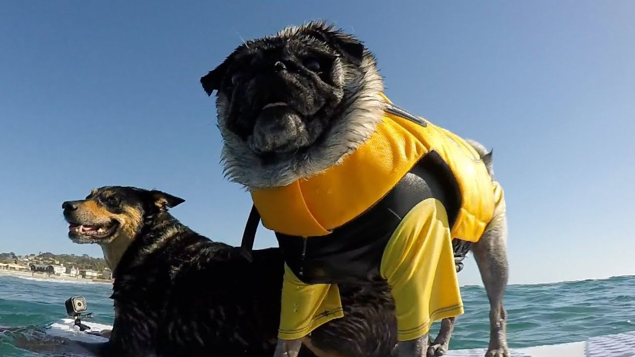 Best Friends Brandy The Pug And Abbie Girl Surfing YouTube - Brandy the award winning surfing pug