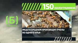 Сколько меда производит одна пчела завсю жизнь?