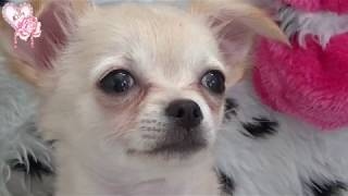 Lilly Rose chihuahua : Le vétérinaire - Premier vaccin + puce
