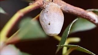 Cupmoth caterpillar making cocoon