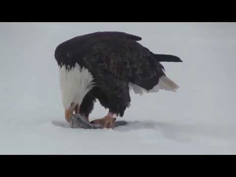 Bald Eagle Eating Fish Caught On The JawJacker, JawJacker Video
