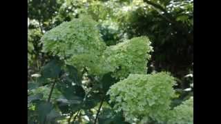 Hydrangea paniculata 'Limelight' video