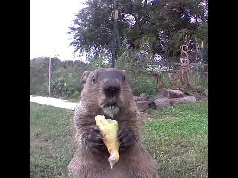 Chase Blog - Groundhog Is Caught Eating From a Family's Vegetable Garden