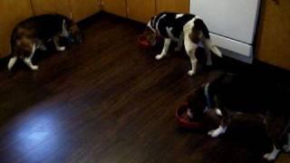 Beagle Feeding Time