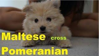 Maltese Pomeranian 8 Weeks