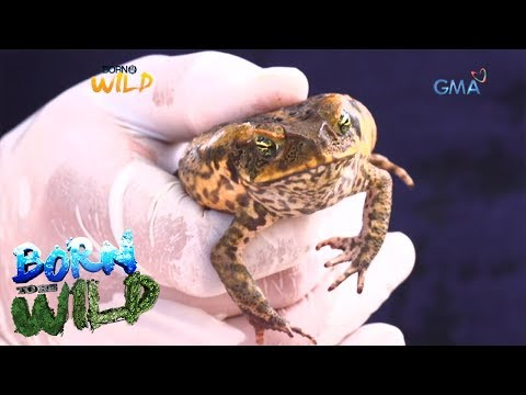 Born to Be Wild: Cane toad's population explosion