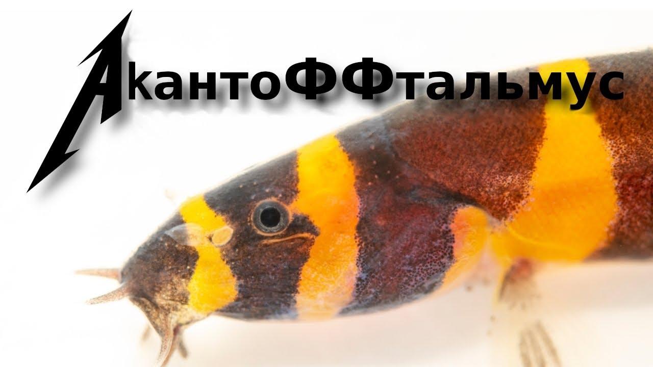 Рыба червячок или гаишник — акантофтальмусы!