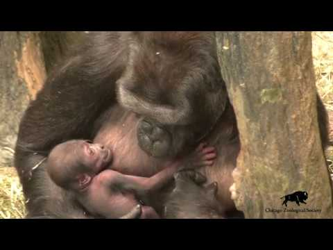 Gorilla Baby Born at Brookfield Zoo!