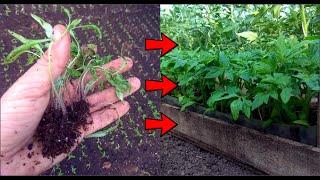 Очень тонкую рассаду делаем крепкой и мощной - пикировка рассады томатов