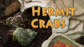 Hermit Crab Care & Habitat