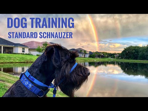 Dog Training  Black Standard Schnauzer