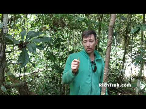 The Cinchona Tree- nature's cure for malaria