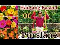 Make Best Summer  Hanging Baskets with Purslane or 10 -O-Clock
