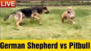 German Shepherd Disciplines a Pitbull!!!