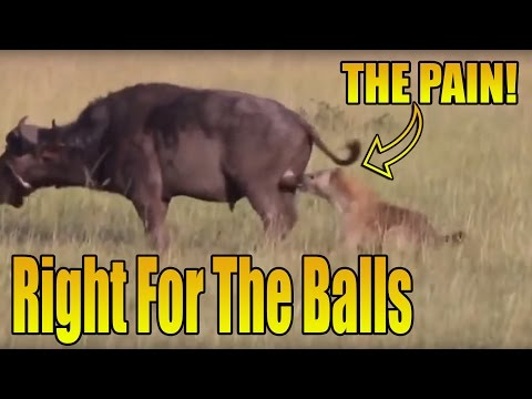 Hyena Bites the Bull by the Balls...Then Eats Him Alive