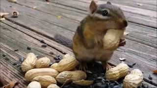 Chipmunks funny videos