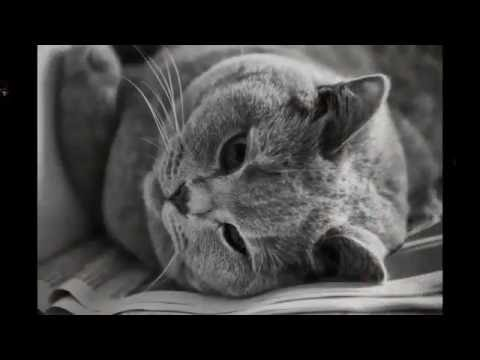 Cute Pets - Very Cute Shorthair Cat Pictures