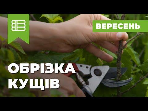 Как сажать черную смородину весной видео