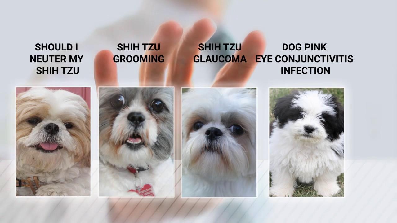 Shih Tzu Food Health Grooming Tips Advice From Shihtzuexpertcom