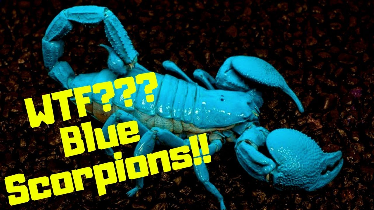 Do Blue Scorpions Really Exist?