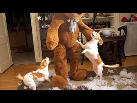 Giant Teddy Visits Dogs for Christmas
