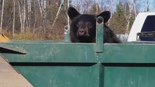 Bear Cubs Climb Homemade Ladder to Escape Dumpster thumbnail
