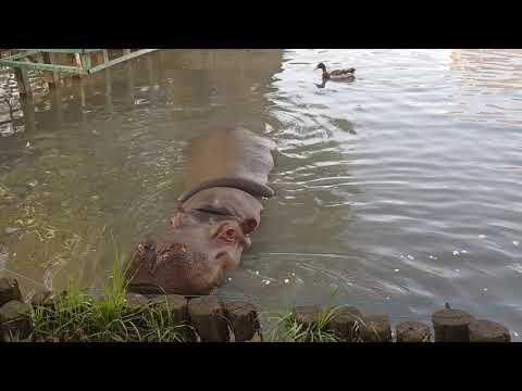 An eating hippopotamus