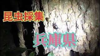Download Video 【昆虫採集2018】 第8回目。兵庫県小野市。カブトムシ、カミキリムシ、セミ、そしてマムシも! MP3 3GP MP4