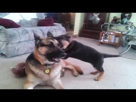 German shepherd puppy playing with dad