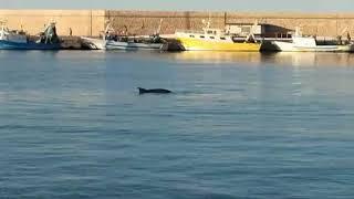 Molfetta. Un delfino nelle acque del Porto