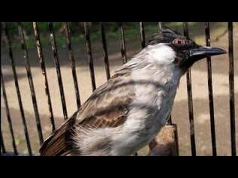 pikat Burung kutilang gacor suara asli alami