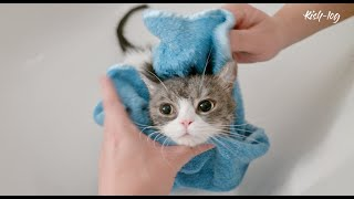 A cat that started to like taking a bath, a cat that loves her human family more and more -petlog 41