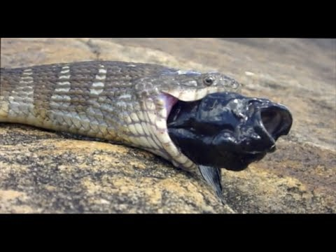 Water snake eats weird fish from behind - in Ontario - Crazy!
