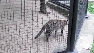 Кошка жоффруа 21.08.18