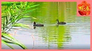 Дикие утки на нашем пруду Красивая природа