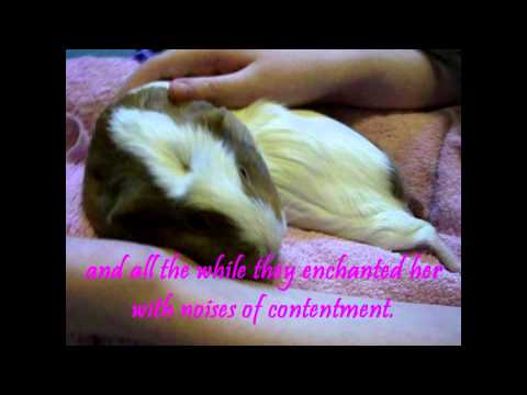 The Enchanting Power of Guinea Pigs - A fairy tale