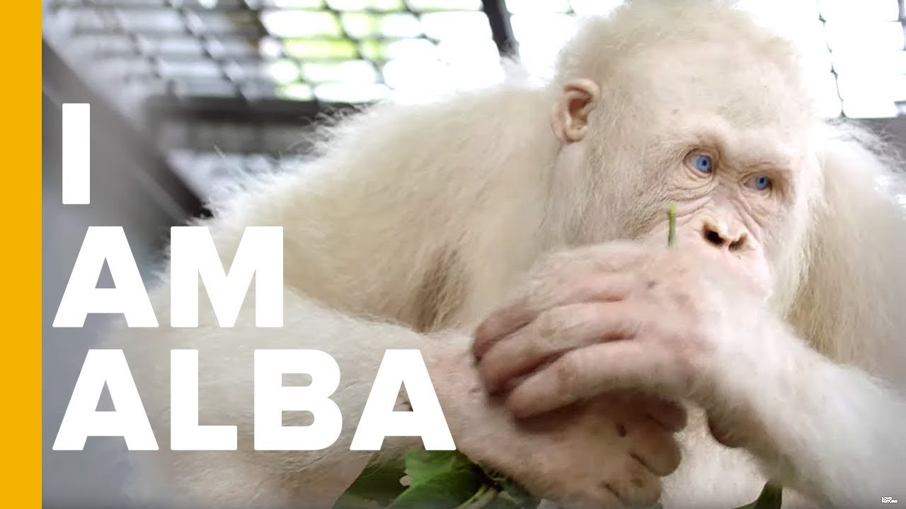 The World's Only Albino Orangutan   Orangutan Jungle School   Love Nature